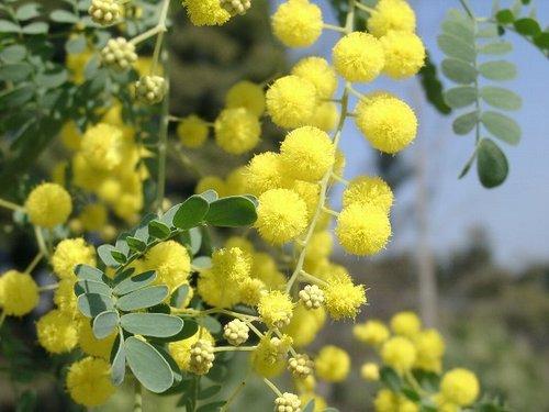 acacia-spectabilis04.JPG